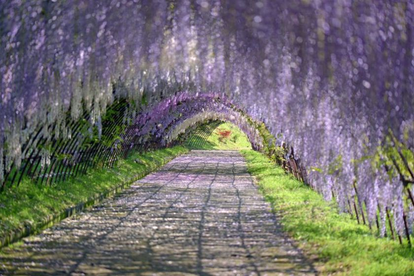 The Wisteria Tunnel, Kitakyushu, Japan